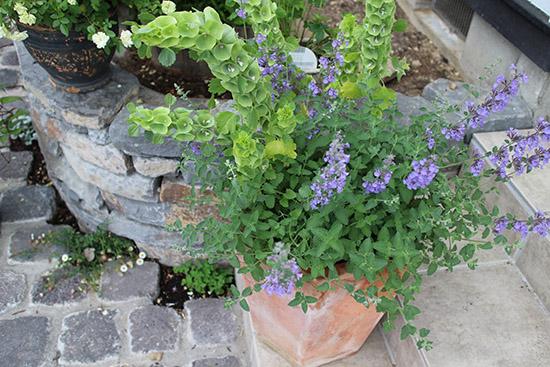 モルセラ 花 5月6月 鉢植え キャットミント