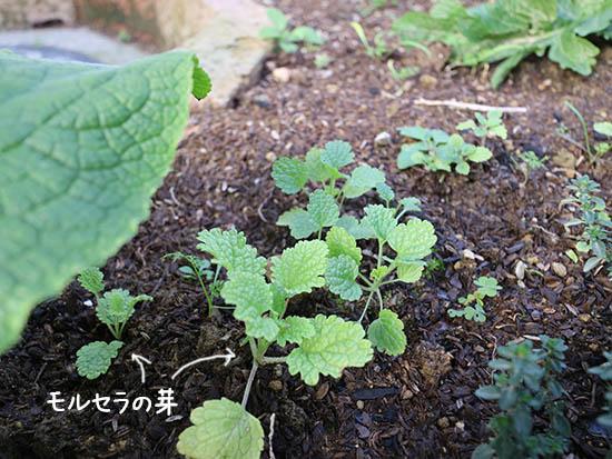 モルセラ 種まきと発芽時期 9月10月頃