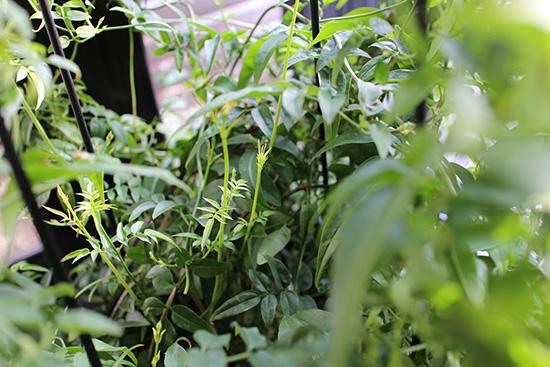 ハゴロモジャスミン 冬越 1月画像 風除室 準寒冷地