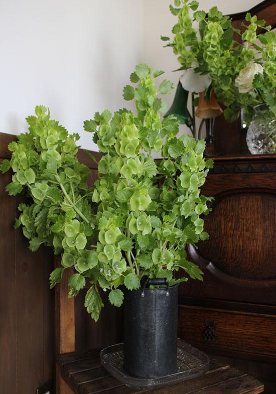 モルセラ 緑花 切り花 5月6月7月