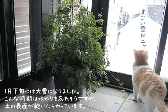ハゴロモジャスミン 雪 冬越