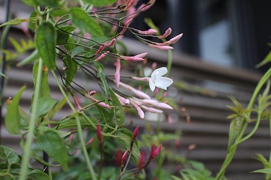 ハゴロモジャスミン 3年目に開花 画像 春夏秋冬