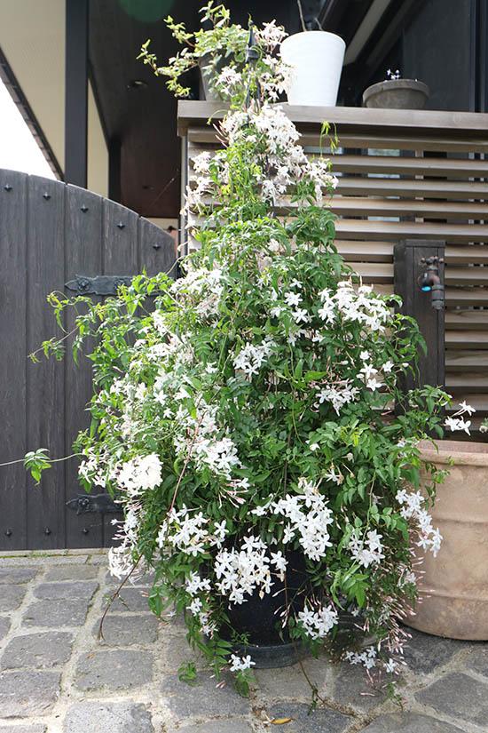 ハゴロモジャスミン 開花満開時期 5月初旬 準寒冷地