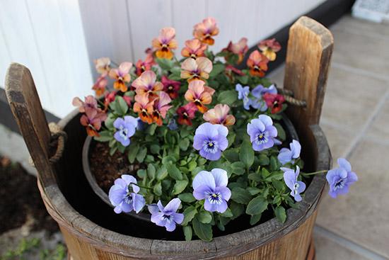 12月冬 ガーデン庭 花壇 開花する 植物 ビオラ