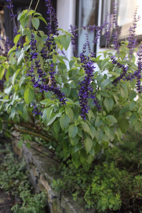 12月冬 ガーデン庭 花壇 開花する 植物 ラベンダーセージ