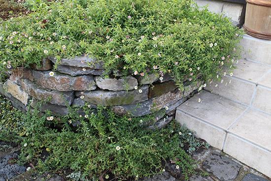 12月冬 ガーデン庭 花壇 開花する 植物 エリゲロン 小菊