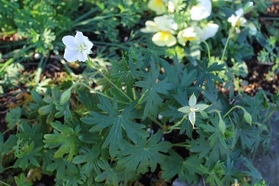 12月冬 ガーデン庭 花壇 開花する 植物 ゲラニウム 白
