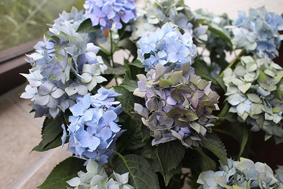 アンティーク色 紫陽花 品種 星がすり 青
