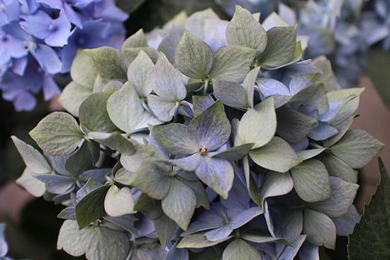 アンティーク色のアジサイ【品種:星がすり】緑青アンティークカラーへ変化