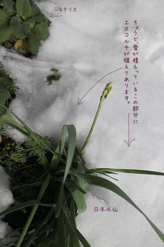 エスコルチア アイボリーレモンイエロー 冬越し 多年草