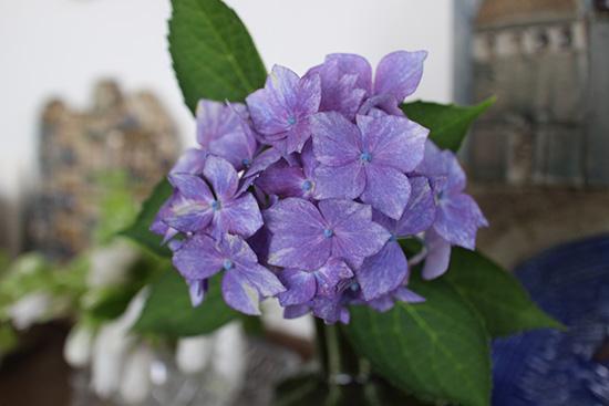 紫陽花 星がすり 花後 いける