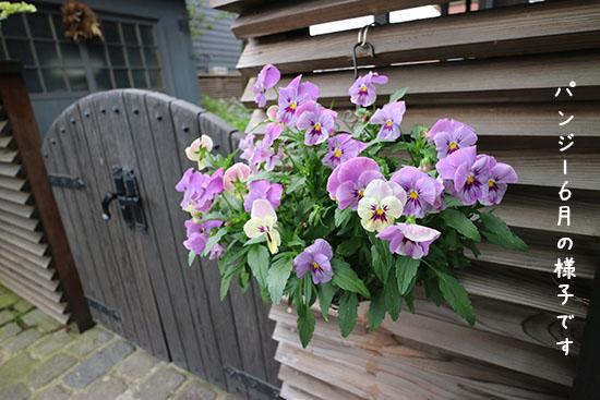 パンジー ビオラ 開花時期 6月 夏越し