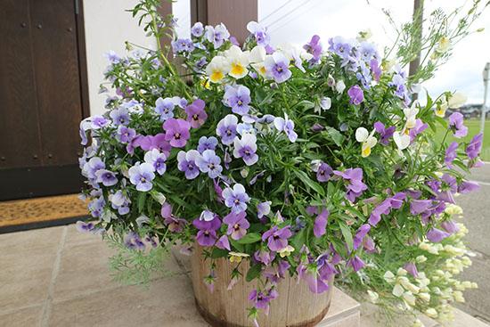 ビオラ パンジー 開花時期 6月 夏越しできない