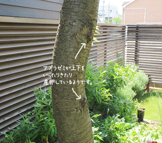 アブラゼミ 産卵 山桜 8月7日