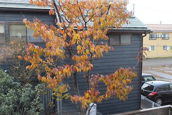 山桜 紅葉 色 12月