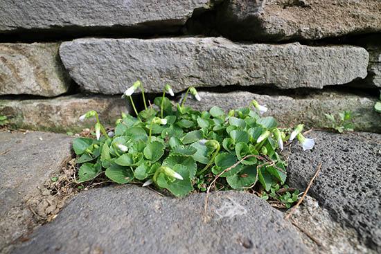 石畳 隙間 植物