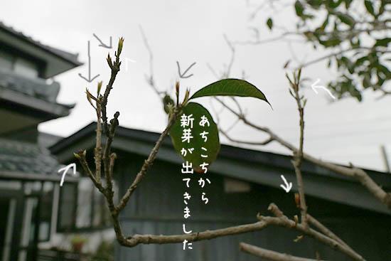 金木犀 落葉 新芽 4月