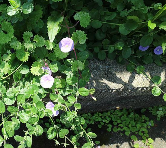 ハンギング植物 青紫花 昼顔科 コンボルブルス 2