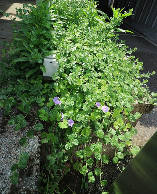 ハンギング植物 青紫花 昼顔科 コンボルブルス