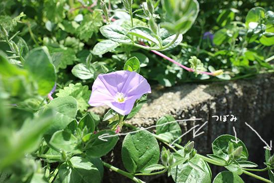 ハンギング植物 青紫花 昼顔科 コンボルブルス 開花5月