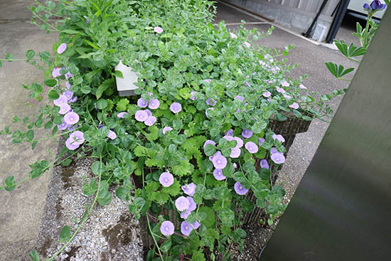 ハンギング植物 青紫花 昼顔科 コンボルブルス 開花5月下旬 1