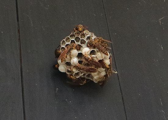 アシナガバチ おそなしい蜂 共存