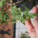 【ハゴロモジャスミン】葉先が枯れて元気がない⇒翌春花芽がつきました