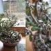 【カネノナルキ】急激に葉が黒くしぼみ枯れる!原因と対処法は?